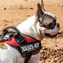 High-quality dog harness. Red Julius K9 IDC Powerharness on dog