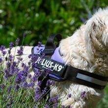 Purple Julius K9 IDC Powerharness Dog Harness on dog.