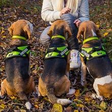 Neon Julius K9 IDC Powerharness Dog Harness on 2 Beagles