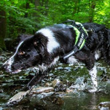 Julius K9 IDC Powerharness Dog Harness on Border Collie in Rainforest