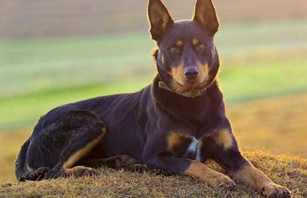 What is the Best Bark Collar For My Kelpie