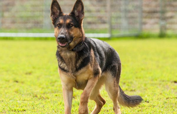 How to Choose the Right Dog Training Collar