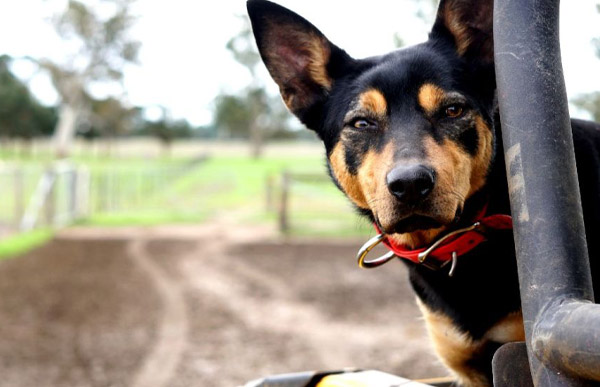 Why are Citronella Bark Collars not recommended for working dogs?