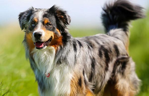 What is the best Bark Collar for my Australian Shepherd?