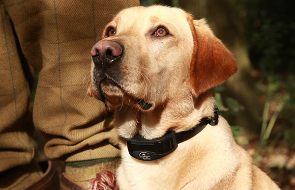 Dog Training Collars - When is my dog ready for one?