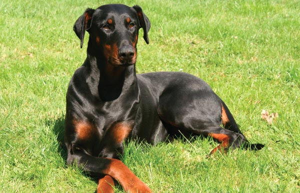 Female Dobermann who is a constant barker.