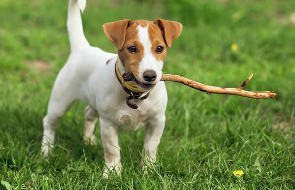 I have adopted a rescue dog, Jack Russell breed. He barks at anything that moves.