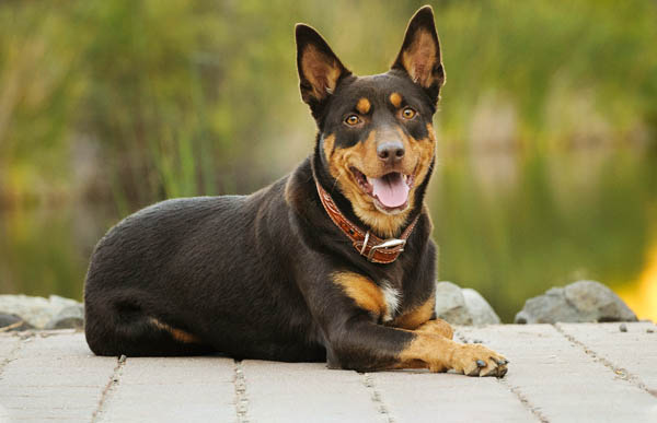 A Remote Training Collar for a 12 month old Kelpie