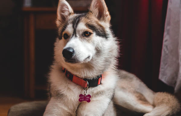 Should I introduce a Remote Training Collar with a Husky?