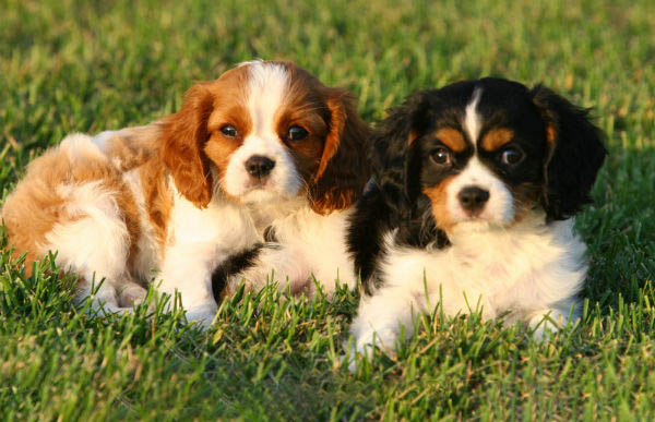 Two King Charles Cavaliers barking throughout the day...