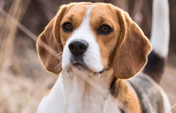 What is the best Bark Collar for my Beagle?