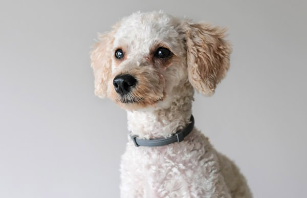 What is the Best Bark Collar for my Poodle?