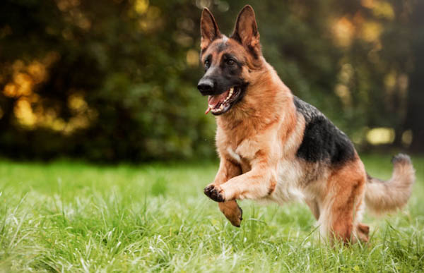 Will a Remote Trainer help control my German Shepherd?